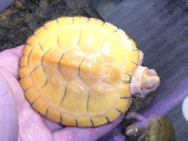 albinoheteromesu