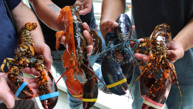 rare-two-toned-lobster-maine-trnd